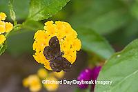 03612-00105 Hayhurst's Scallopwing (Staphylus hayhurstii) on Yellow Lantana (Lantana camara)  Marion Co.  IL