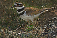 A Killdeer (Charadrius vociferous) stands over its nest with four spotted eggs. Killdeer feign injury to lure  predators away from its nearby nest.