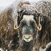 Muskox with snow covered quviut stands on the snowy tundra of Alaska's Arctic North Slope.