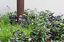 Chives (Allium schoenoprasum) and foliage of ornamental peppers (Capsicum annuum 'Dark Leaf Pink' and Capsicum annuum 'Black Pearl'). The Sonic Pangea Garden, designed by Stefano Passerotti & Anna Piussi, RHS Chelsea flower Show 2013.