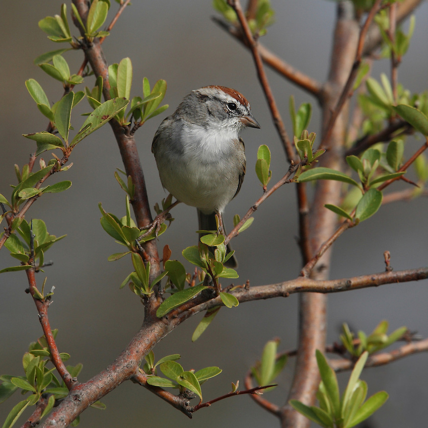 Common Chipping Sparrow that admits he's square. And proud of it! :)