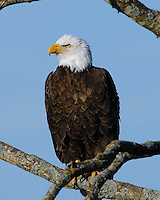 Bald Eagle from Llano, TX