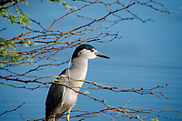 Black Crown Night Heron. Kealia Pond National Wildlife Refuge. Maui, Hawaii