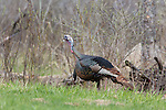 Eastern wild Turkey