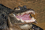 American alligator sits with mouth open (captive).