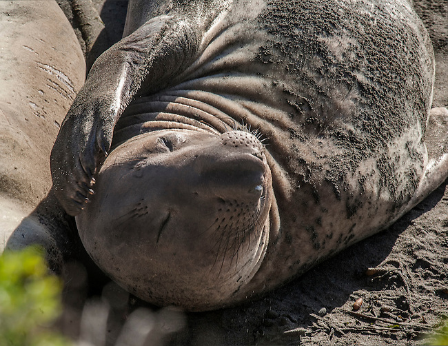 An elephant seal beaches near San Simeon, California
