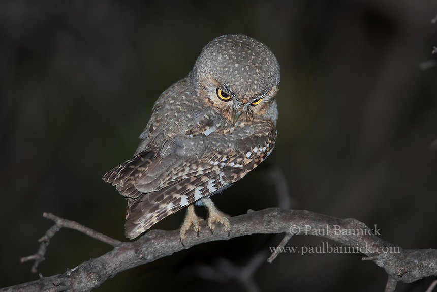 An Elf Owl, Micrathene whitneyi, looks down to find prey in the Huachuca Mountains of Southeast Arizona.