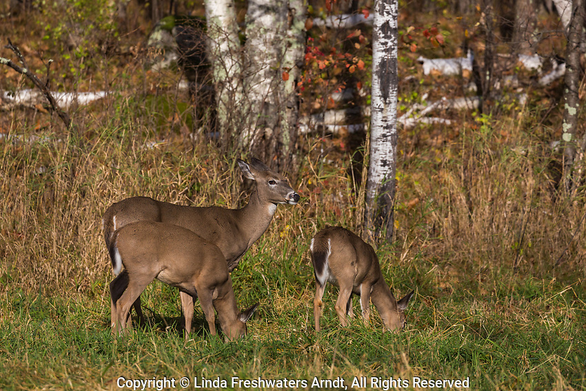White-tailed doe and her fawns feeding in an autumn meadow.