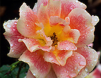 No name rose with rain drops. International Rose Test Gardens. Portland, Oregon.