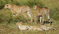 A family group of cheetahs patrols the open plains of the Serengeti National Park, Tanzania, together.