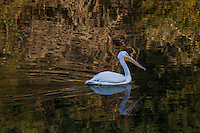 An American White pelican floats on rippled water reflecting the shore's orange, yellow and green - a winter afternoon at Lake Chabot Regional Park.