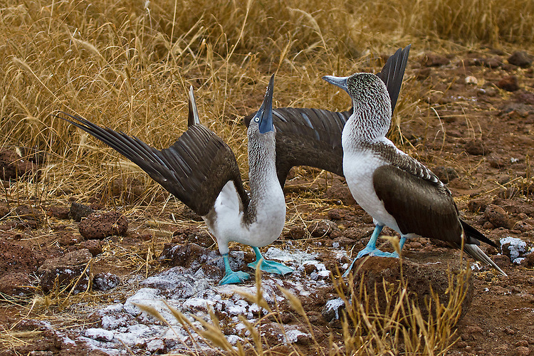 Male Blue-footed Booby, with his wings spread wide and head held high, is doing his best to court his fair lady and entice her into mating with him.