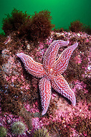 Northern Seastar, Asterias rubens; formerly known as (Asterias vulgaris), Gulf of Maine, Rockport, Massachusetts, USA, Atlantic Ocean