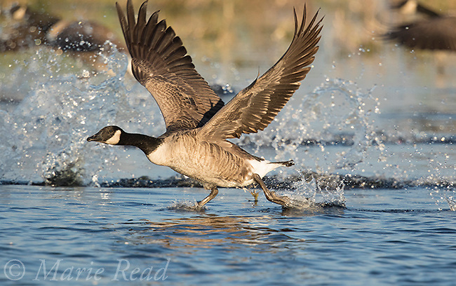 Canada Goose (Branta canadensis) taking flight from water, Montezuma National Wildlife Refuge, New York, USA