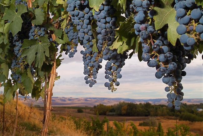 Cabernet Sauvignon grapes hanging in the vineyard of Basel Cellars in Walla Walla Washington, USA.  The Grapes will be harvested soon and made into great wines.