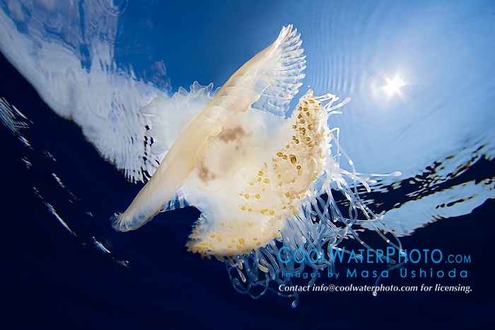 Crowned Jellyfish, Cephea cephea, an offshore, pelagic species, Order Rhizostomeae - Root-mouth Jellies, Family Cepheidae, off Kona Coast, Big Island, Hawaii, Pacific Ocean.
