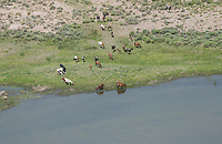 Horses drinking along Rio Grande River, Taos County, New Mexico, Colorado. June 2014. 85503