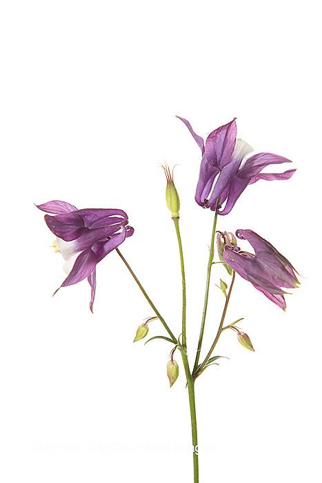30099-00305 Purple Columbine (Aquilegia) on white background, Marion Co, IL