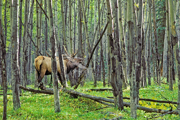 Bull elk bugling in aspen forest, September, Northern Rockies.