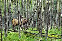 Bull elk bugling in aspen forest, September, Northern Rockies.