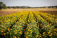 A field of yellow wildflowers near Fredericksburg, Texas, Friday, July 24, 2009. (Darren Abate/pressphotointl.com)