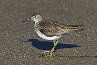 Solitary Sandpiper standing amongst the duck weed