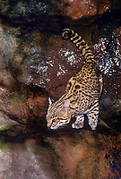 640514001 a wildlife rescue geoffroys cat felis geoffroyi pauses at a rock bound pond for a drink species is native to southeast asia