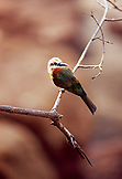 BOTSWANA, Africa, Chobe National Park and Game Reserve, Carmine Bee-Eater