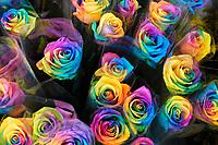 Nederland  Zaandam -  September 2018.  Regenboogrozen. Echte rozen behandeld met kleurstof.  Foto Berlinda van Dam / Hollandse Hoogte