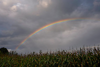 Intense rainbow over cornfield