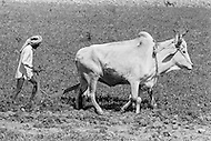 1970, Punjab, India --- A farmer harvests potatoes assisted by a cow in the Punjab. --- Image by © JP Laffont