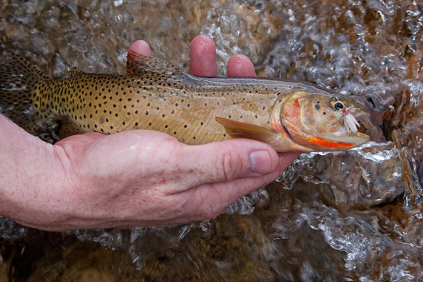 Greenback Cutthroat in Rocky Mountain National Park taken on a Stimulator.