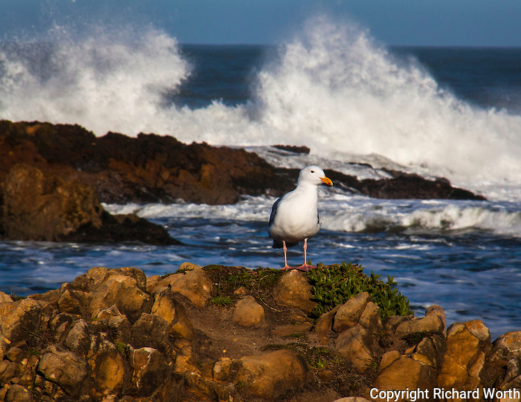 A Western gull surveys its domain while the Pacific waves crash against the rocks in the background.
