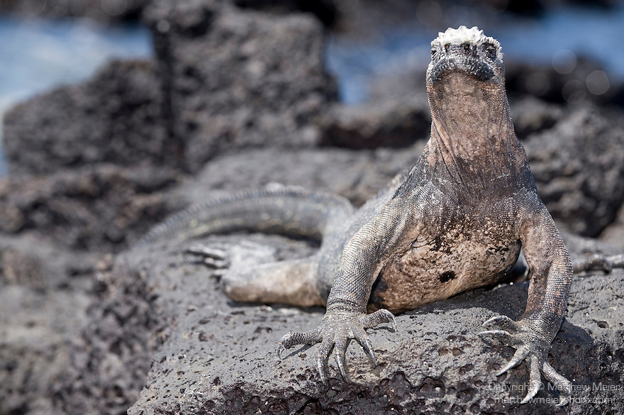 Puerto Ayora, Santa Cruz Island, Galapagos, Ecuador; a Marine Iguana (Amblyrhynchus cristatus) on the volcanic rocks at the water's edge of the beach at the Charles Darwin Research Station , Copyright © Matthew Meier, matthewmeierphoto.com All Rights Reserved