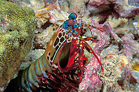 peacock mantis shrimp, Odontodactylus scyllarus, removes piece of coral from burrow, Surin Islands, Thailand (Andaman Sea, Indian Ocean)