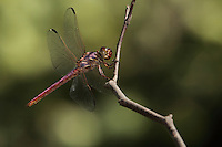 The Roseate Skimmer is one of the most aggressive dragonfly predators..