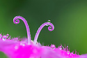 Detail of the two stigmas on a Carthusian Pink flower {Dianthus carthusianorum}. Nordtirol, Austrian Alps. June.