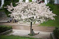 Berlin, Ein Passant sitzt am Donnerstag (09.05.13) im Mauerpark in Berlin unter einem blühenden Baum. Foto: Timur Emek/CommonLens