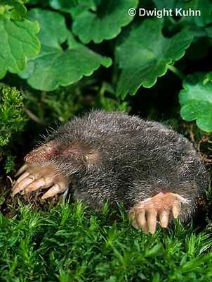 MB25-001z  Hairy-tailed Mole - digging - Parascalops breweri