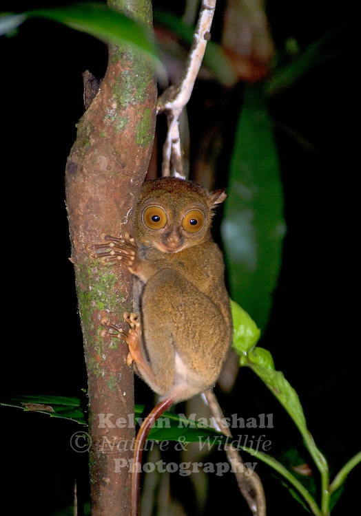 The Western Tarsier (Tarsius bancanus) is yellowish beige or sand-colored. Enormous, goggled eyes take up most of its face. The eyes cannot move within the sockets, so a flexible neck turns the head around almost 180° for a backward look. Large ears are in constant motion as they follow the sounds of possible prey. The fingers and toes are very long and have suction pads at the tips for gripping tree branches. Fingernails and toenails are flattened, except for those on the second and third toes. These two toes have grooming claws, used for cleaning the fur of dead skin and parasites and for scratching. The long, rod-like tail is bare with a small clump of hair at the end. Ridges on the inside part of the tail support the tarsier when it clings to tree trunks or branches.