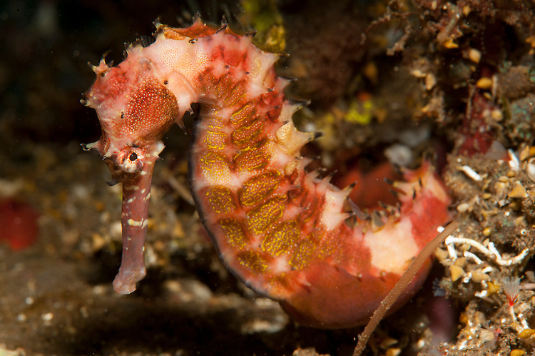 thorny seahorse: Hippocampus hystrix, side view, red and pink with yellow markings, Tulamben, Bali