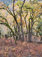 Oak trees and fall color. Washington