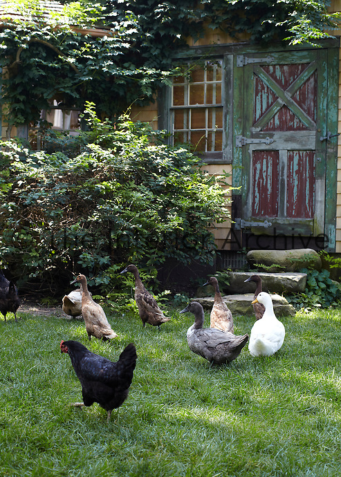 Hens and ducks are free to wander around the garden