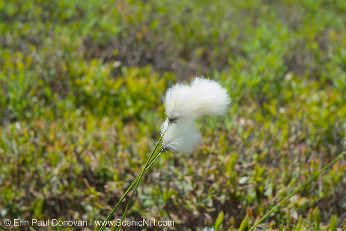 Cotton Grass -Eriophorum virginicum- during the spring months on the side of Baldface Circle Trail in the White Mountains, New Hampshire.