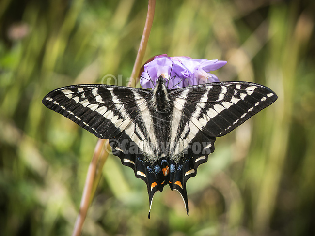 Tiger swallowtail butterfly sipping nectar from a purple brodeae flower along Sutter Creek, Amador County, Calif.