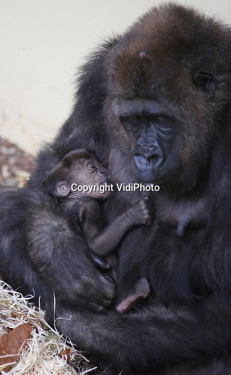 Foto: VidiPhoto<br /> <br /> ARNHEM - In Burgers' Zoo is opnieuw een gorillajong geboren, de vierde al dit jaar. Dat is in de geschiedenis van de Arnhemse dierentuin nog niet eerder gebeurd. Als alles goed gaat, staat het dierenpark zelfs een wereldprimeur te wachten. Nog twee gorilla's zijn zwanger. Zes gorillajongen in &eacute;&eacute;n jaar in een dierentuin, onder wie een tweeling, is nog nergens eerder voorgekomen. Het jong van moeder Makoua (geboren in Zoo Berlin in 2004) is donderdag 24 oktober geboren. Dinsdag is het nieuws van de geboorte pas naar buiten gebracht omdat Makoua zelf met de hand moest worden grootgebracht. Het was dus even afwachten of het jong zou blijven leven. Bij de introductie in de gorillagroep van Burgers' Zoo wist ze niets van het natuurlijk gedrag van gorilla's Makoua blijkt echter een uitstekende moeder, dankzij de voorbeelden van de andere moeders.