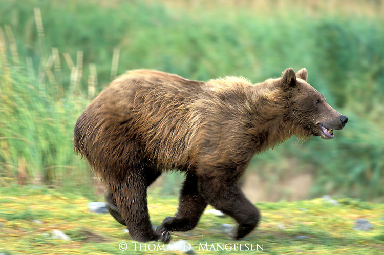 Alaskan Brown Bear (Ursus arctos) running in Southeast, AK