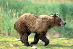 Alaskan Brown Bear (Ursus arctos) running in Southeast, AK