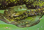 A bullfrog sits in a small puddle on a lotus leaf.