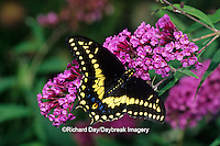 03009-014.01 Black Swallowtail butterfly (Papilio polyxenes) male on Butterfly Bush (Buddleia davidii) Marion Co. IL